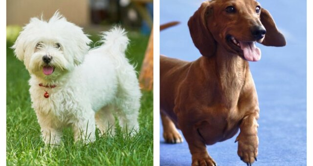 rasy psów, które długą żyją