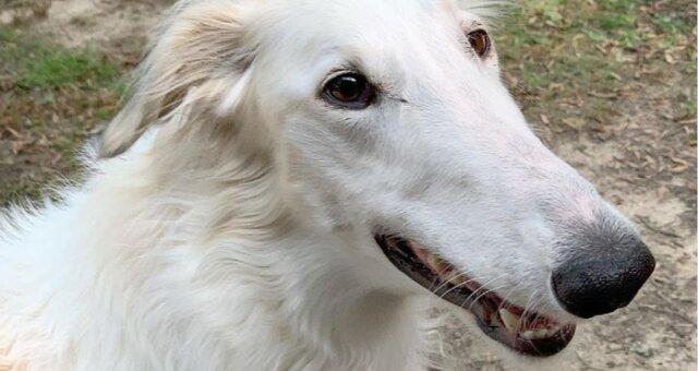 pies z długim nosem