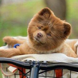 """Właściciele porzucili szczeniaka, ponieważ był """"za duży"""": historia psiaka, który stał się gwiazdą Instagrama"""