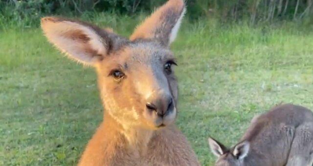 kangur wychodzi z torby mamy