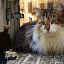 Jak wygląda największy kot domowy na świecie? Prawie jak kucyk!