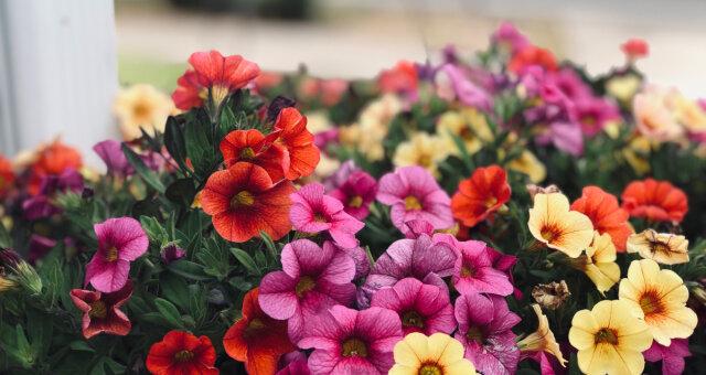 Jak wybrać sadzonki kwiatów
