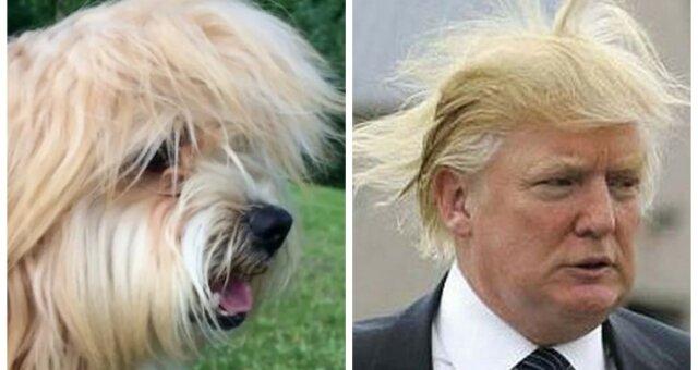 psy wyglądające jak donald trump