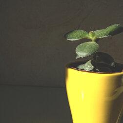 Drzewko szczęścia: jak sadzić i gdzie umieścić grubosz, aby przyciągnąć do domu bogactwo i dobrobyt